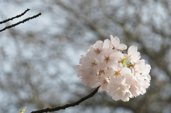Cluster of light pink cherry blossoms