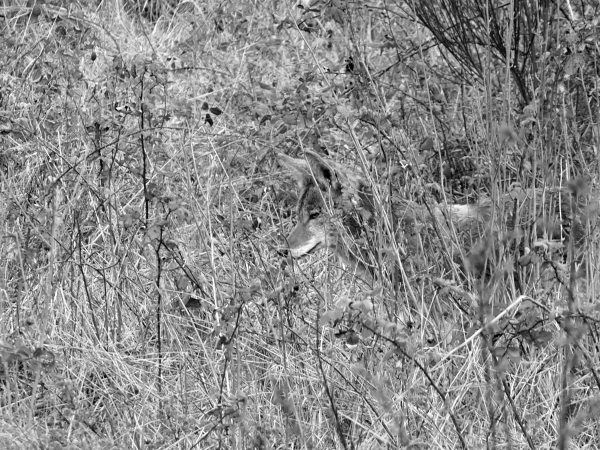 Coyote in overgrown field in black and white