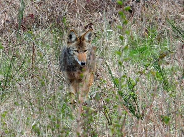 Mottled, tawny coyote standing in overgrown field