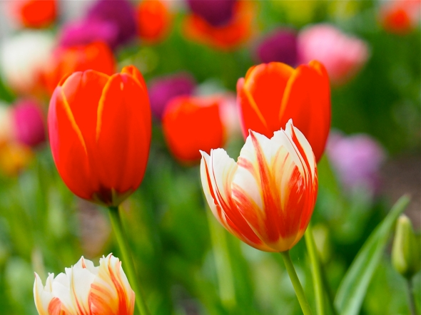 Multicolored tulips on green, leafy background