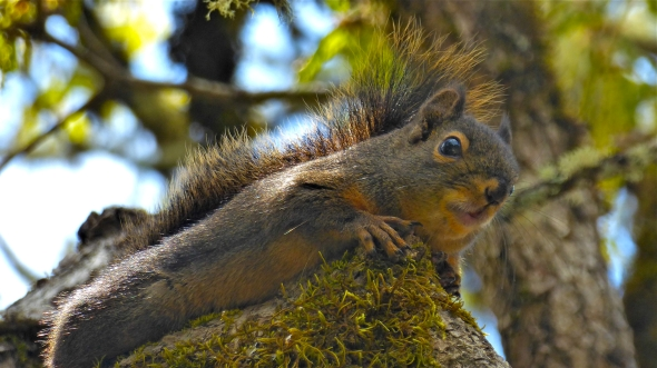 Small reddish-brown squirrel on top of mossy tree branch