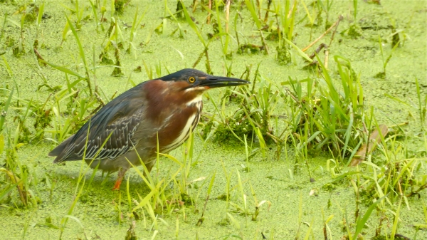 Green heron standing in marsh