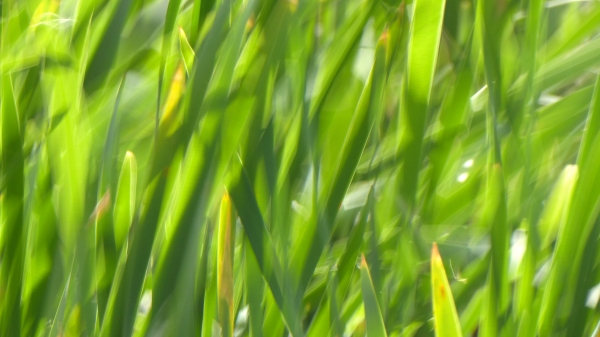 Blurred green cattail leaves moving in the wind