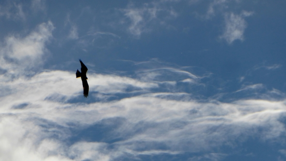 Osprey in silhouette flying in blue sky with white, wispy clouds