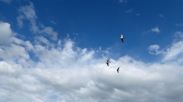Three Mallards flying in blue sky with white fair0weather clouds