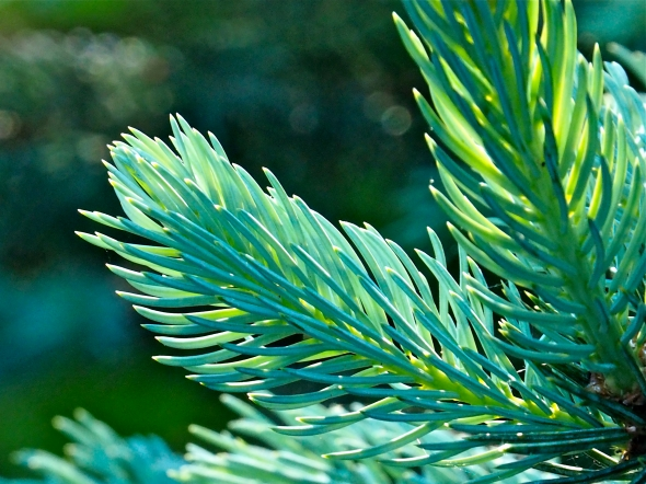 Blue-green needles on tips of blue spruce tree branches