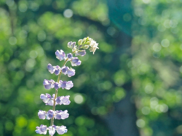 Sunlit lavender lupine blossoms on a green, leafy background