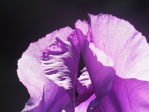 Backlit purple iris on black bacground