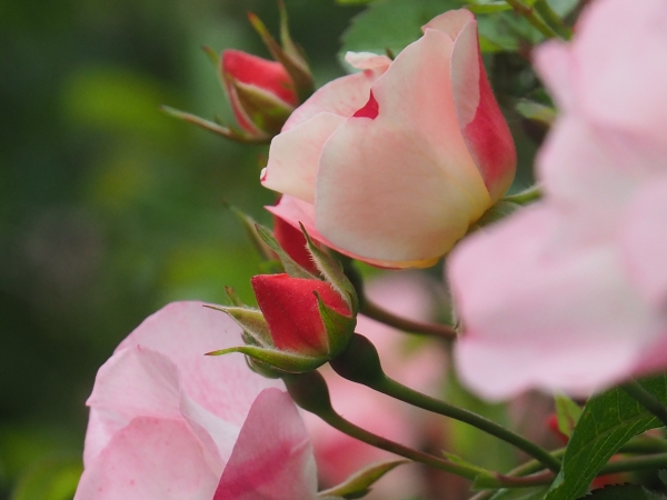 Pink roses and red rosebuds