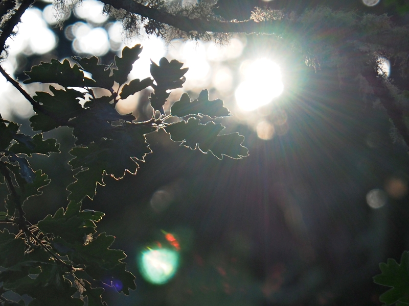 Backlit oak leaves and bright evening sun
