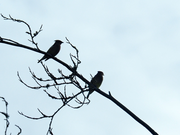 Silhouettes of two birds sitting on a branch