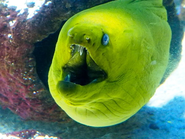 Green moray eel with open mouth