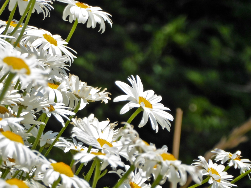 Many daisies against a dark green background