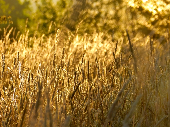 Backlit golden seed heads of grasses