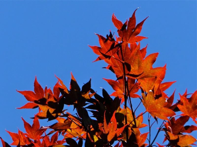Red Japanese maple leaves against a blue sky