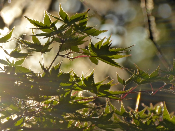 Japanese maples leaves in sunlight