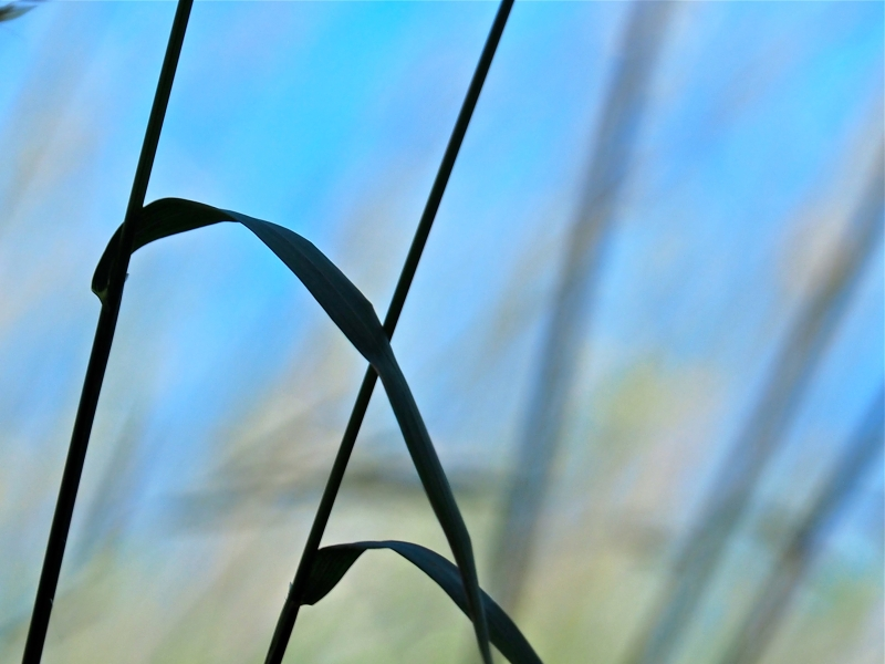 Grass stems silhouetted against blue sky