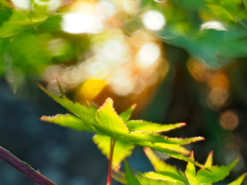 Maple leaves moving in the breeze
