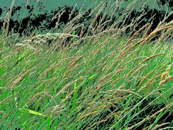 Long grasses with seedheads bent to the right