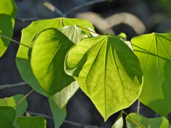 Green leaves brightly lit by low-angle sun