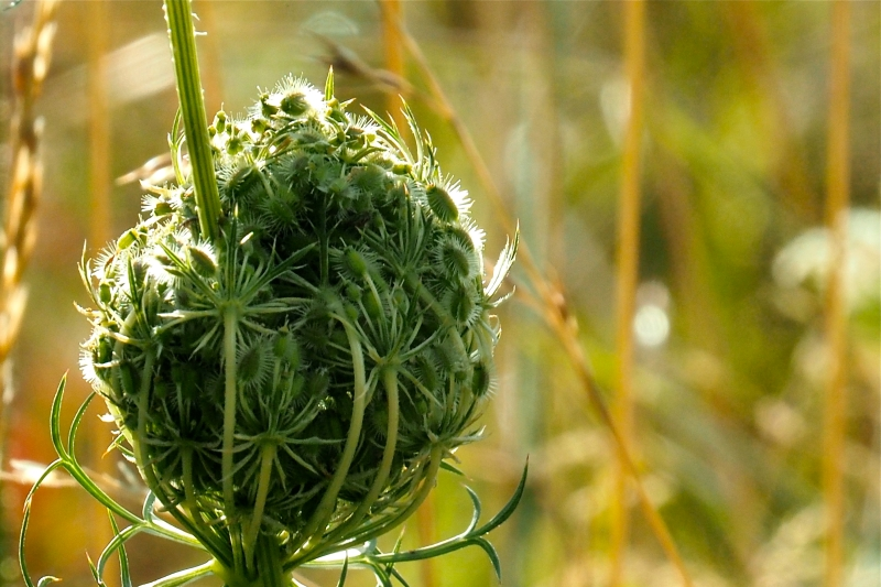 Queen Anne's Lace blossoms opening up