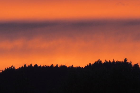Orange sky after sunset with dark conifers silhouetted on horizon