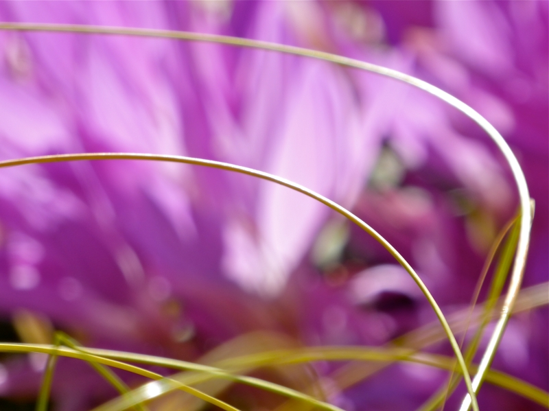 Curved grasses in front of blurred pastel crocuses