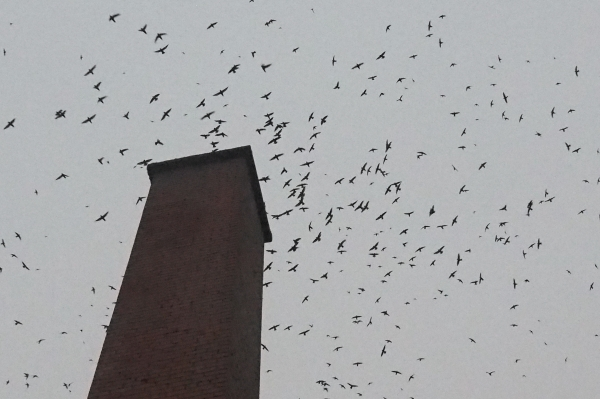 Dozens of flying swifts in silhouette massing at a chimney at dusk