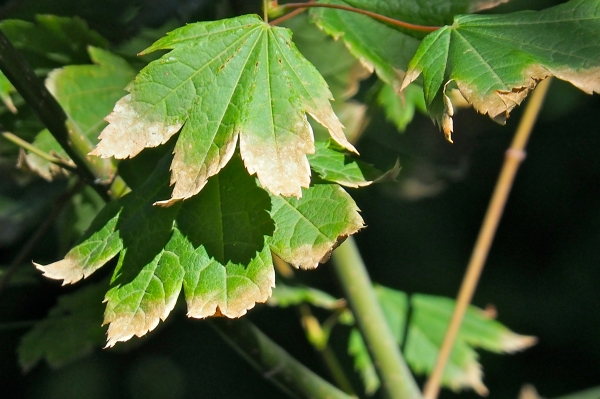 Green maple leaves with tips turning brown