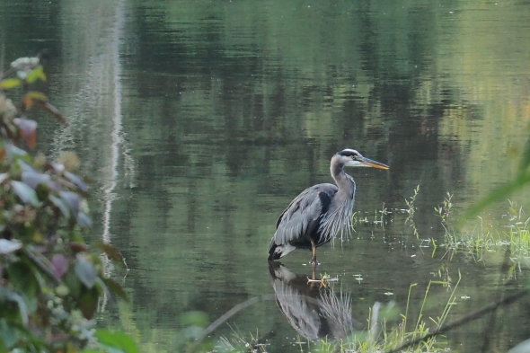 Great Blue Heron standing in river