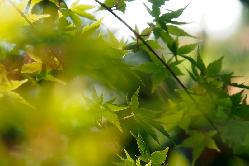 Green Japanese Maple Leaves
