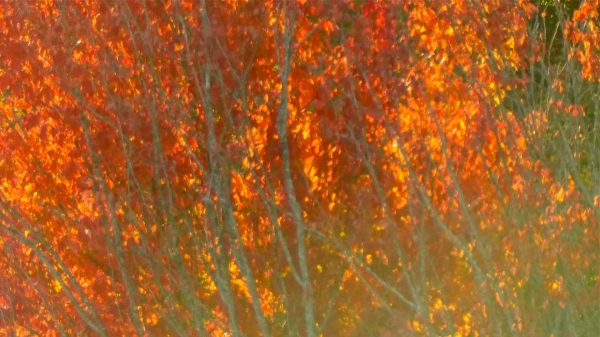Branches and many bright orange and red maple leaves