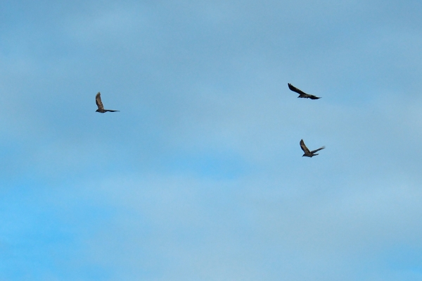 Three Crows Flying Together