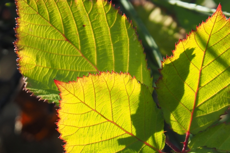 Green blackberry leaves with bright red edges