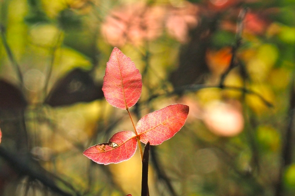 3 red poison oak leaves