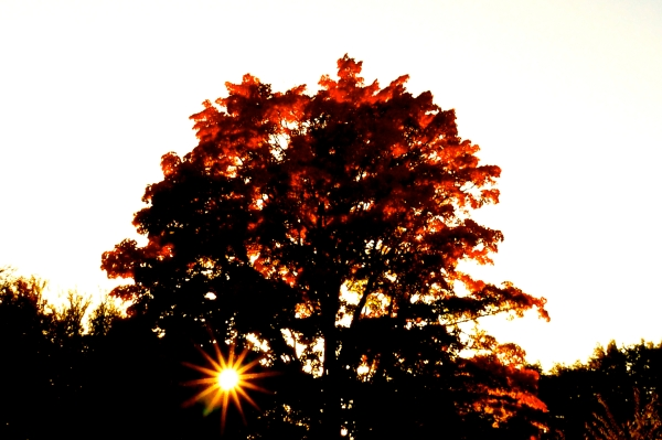 Sunburst through orange maple tree