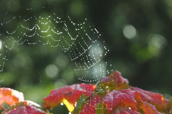 Dew-Covered Spiderweb and Autumn Leaves
