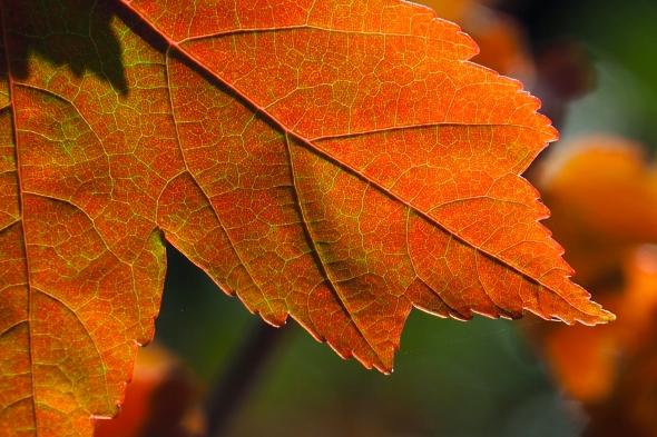 Close-up of orange maple leaf