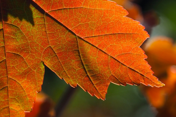 Close-up of orange maple leaf