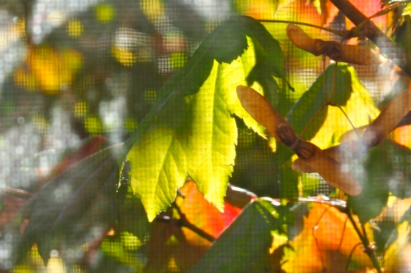 Green and orange maple leaves viewed through window screen