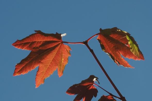 Red maple leaves and blue sky