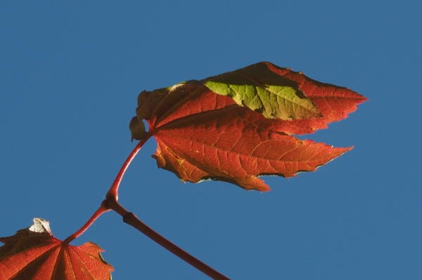 Orange and green maples leaves against blue sky