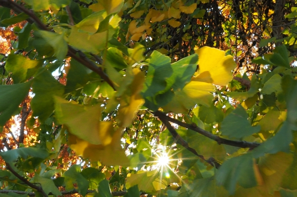 Sunburst through green and yellow leaves