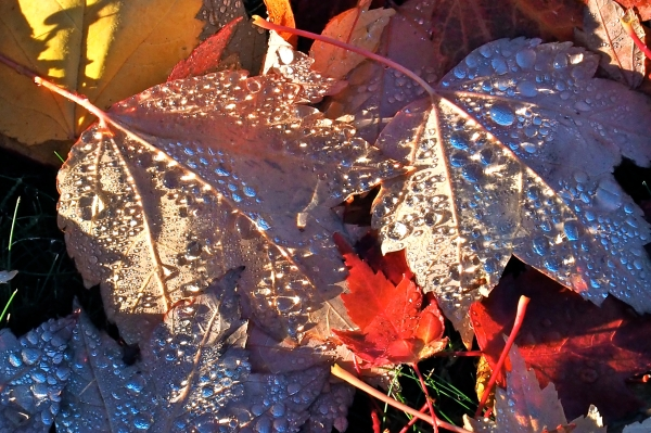 Fallen maple leaves covered in shining dewdrops