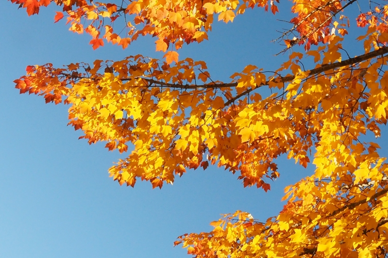Yellow maple leaves and blue sky