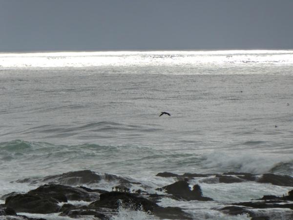 Cormorant flying over coastal waters