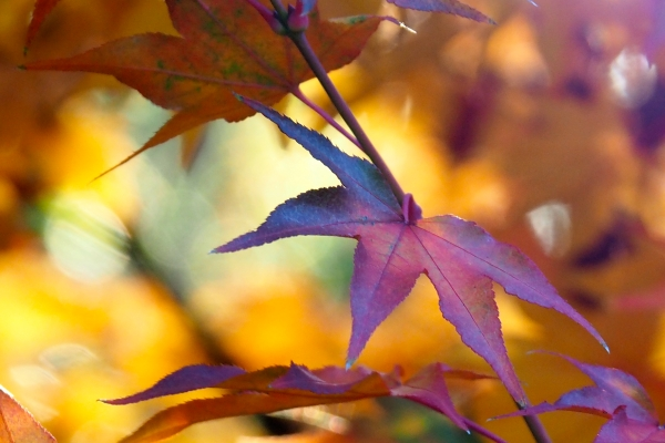 Purple-red Japanese maple leaves