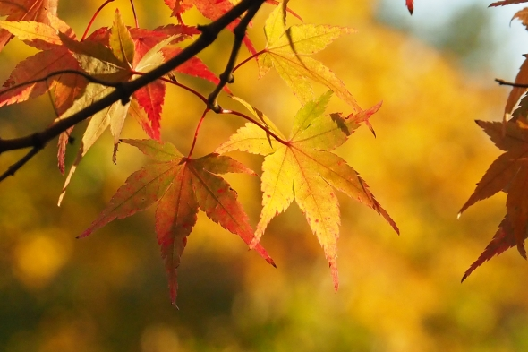 Yellow and orange Japanese maple leaves in sunlight