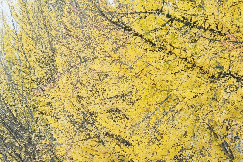 Gingko trees full of yellow leaves on misty day