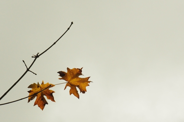 Two maple leaves and a bare branch